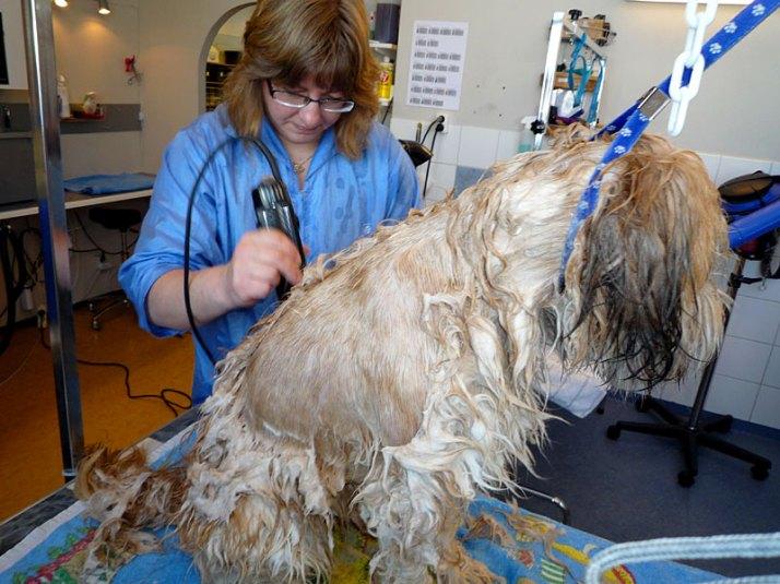 Wet shave av tovig hund - -rakningen
