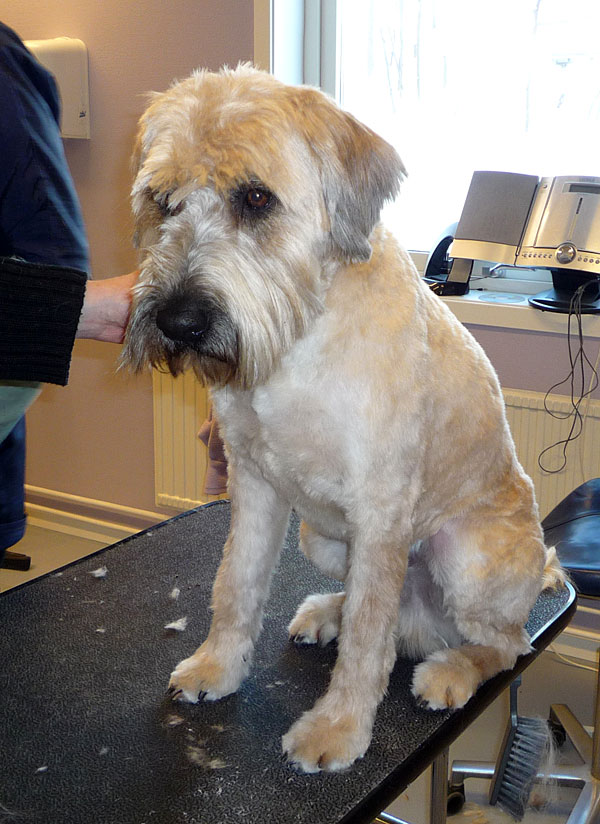 Wet shave av tovig hund - torr och finklippt