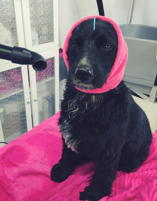 Bella, cockermix, får akupunktur