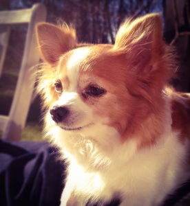 Tiffani, min chihuahua.